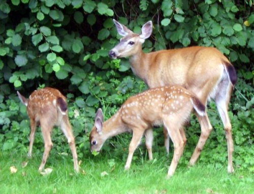 Deer Mom and Twins